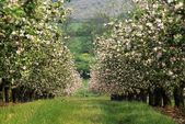 Apple Orchard In Blossom, Co Armagh, Ireland — 图库照片