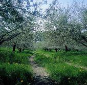 Apfelbäume in voller blüte — Stockfoto
