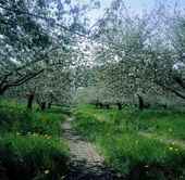 Apple Trees In Bloom — Stock Photo