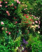 Rosebushes And Wildflowers — Foto de Stock