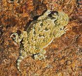 A Juvenile Desert Horned Lizard — Stok fotoğraf