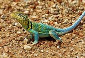 An Eastern Collared Lizard, Crotaphytus Collaris, Basking On A Road — Stock Photo