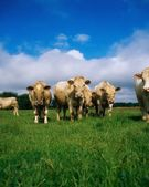 Charolais Cattle, Ireland — Stock Photo