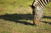 Cebra comiendo hierba — Foto de Stock