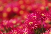 Crimson Flowers With Yellow Centers — Stock Photo