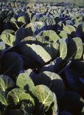Cabbages, Co Meath, Ireland — Stock Photo