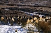Sheep, Winter In Glenshane, Co Derry, Ireland — Stock Photo