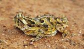 A Texas Horned Lizard, Phrynosoma Cornutum, Basking On A Road — Stock Photo