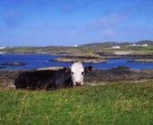 Holstein-Friesian Cows, Co Donegal, Rosbeg, Ireland — Stock Photo