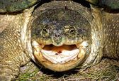 An Open Mouth Threat Display Of A Snapping Turtle — Stock Photo