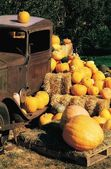 Pumpkin Harvest — Stock Photo