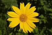 Yellow Mexican Sunflower — Stock Photo