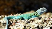 An Eastern Collared Lizard, Crotaphytus Collaris, Basking In The Sun — Stock Photo