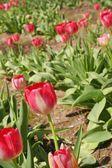 Many Tulips — Stock Photo