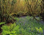 Hazel Coppice And Bluebells In Ireland — Stock Photo