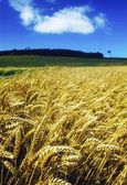 A Wheat Field — Stock Photo