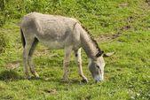 Donkey Grazing, Spain — Stok fotoğraf