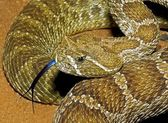 A Prairie Rattlesnake, Crotalus Viridis, Flicking It's Tongue — Stock Photo