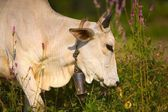 Cow Wearing A Cow Bell — Stock Photo