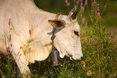 корова, носить коровы колокольчик — Стоковое фото