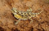 A Texas Horned Lizard, Phrynosoma Cornutum, Basking On A Ledge — Stock Photo