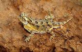A Texas Horned Lizard, Phrynosoma Cornutum, Basking On A Ledge — Stock Photo