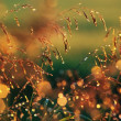 Wild Grass With Dew Drops — Stock Photo #31760463