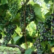 Grapes — Stock Photo #31760873