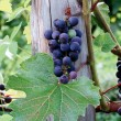Grapes — Stock Photo #31760875
