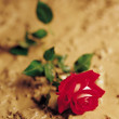 Stock Photo: Red Rose Laying In Mud