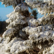 Evergreen Trees Laden With Fresh Snow — Stock Photo