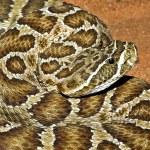 A Prairie Rattlesnake — Stock Photo #31762937