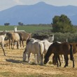 Stock Photo: AndalusiHorses Grazing