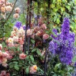 Stock Photo: Roses And Delphiniums, Sandford Road, Dublin, Ireland