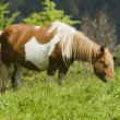Horse Grazing In Cantabria, Northern Spain — Stock Photo #31764421