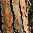 Stock Photo: Bark Of A Pine Tree