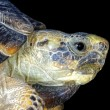 Stock Photo: Texas Tortoise