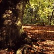 Large Tree Trunk Among Fallen Leaves — Stock Photo #31769703