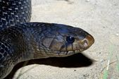 Texas Indigo Snake — Stock Photo
