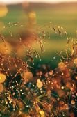 Wild Grass With Dew Drops — Stock Photo
