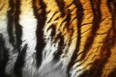 Close-Up Of A Tiger's Fur — Stock Photo