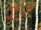 American White Birch Tree Trunks In New Hampshire, Usa — Stock Photo