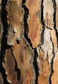 Bark Of A Pine Tree — Stock Photo