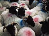 Sheep In A Pen, Mannin Bay, Connemara, Co Galway, Ireland — Stock Photo