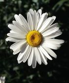 Close Up Of A Daisy — Stock Photo
