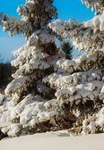 Evergreen Trees Laden With Fresh Snow — Stock Photo