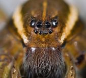 Face Of Six Spotted Fishing Spider — Stock Photo