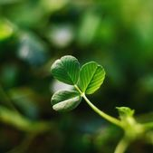 Single Leaf Of Shamrock — Photo
