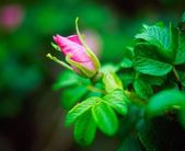 Rosebud Unfurling — Photo
