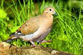 A Zenaida Dove Walking On A Ledge — 图库照片